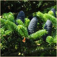 Abies koreana 'Blue Emperor' kegels closeup
